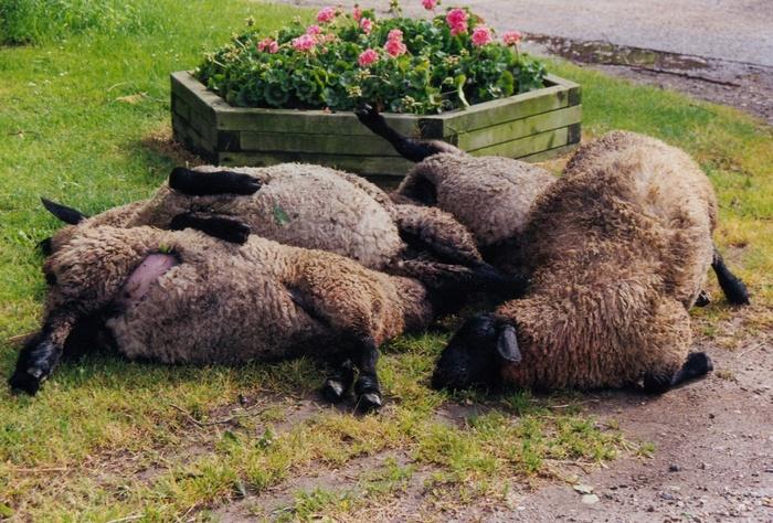 piershil-stormschade-7juni-1997-schapen-zevenbergen