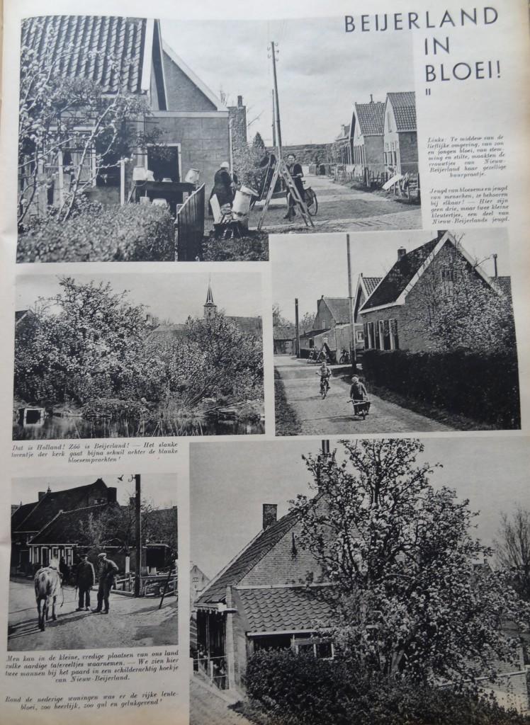 1938-nieuw-beijerland-inbloei-01