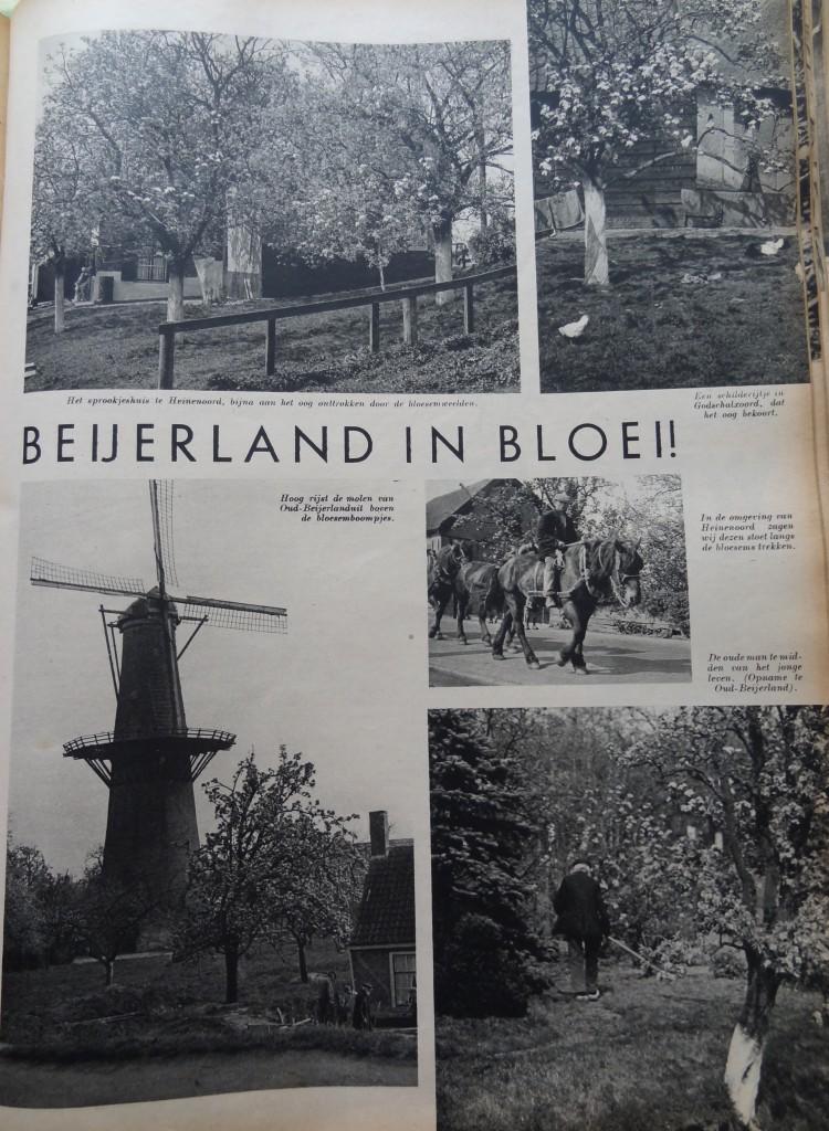 1938-oud-beijerland-inbloei-01