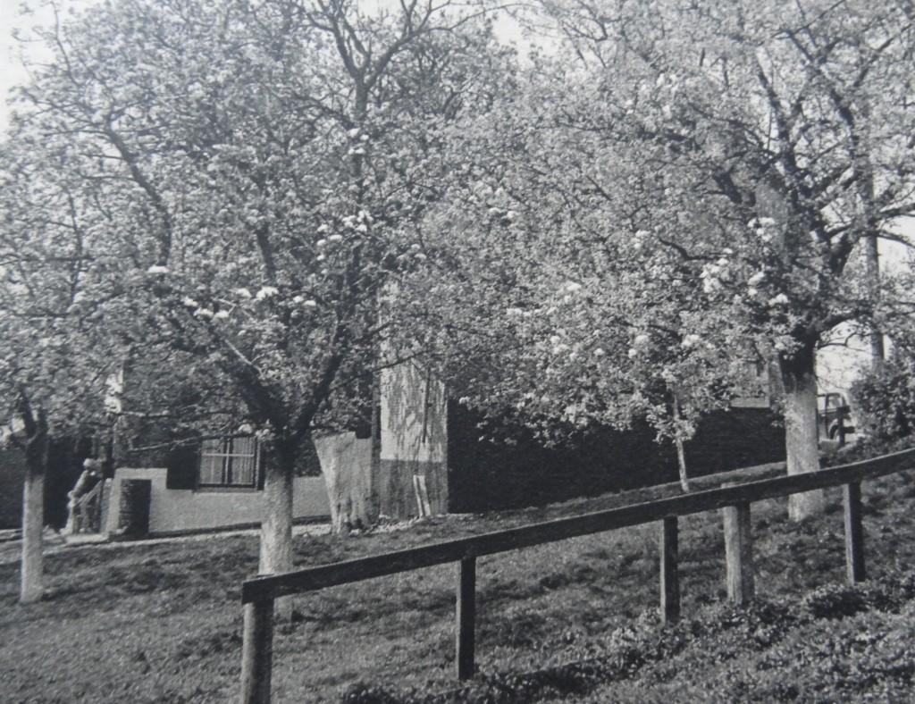 1938-oud-beijerland-inbloei-04